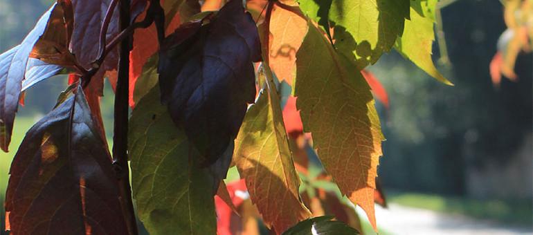 Weinblätter im Herbst Vorschaubild