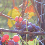 Dunkle Weintrauben