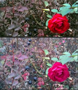 Rose im Gebuesch