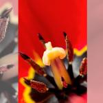 Rote Tulpe ganz nah