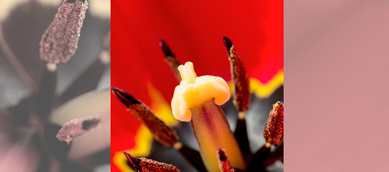 rote tulpe mit bluetenstaub