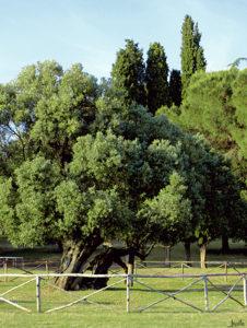 Alter Olivenbaum in Kroatien