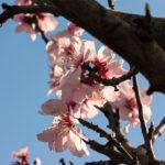 Rosa und Blau - Kirschblüten im Frühling