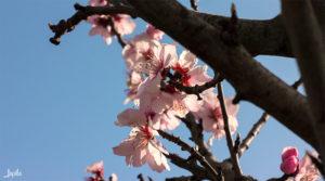Kirschblüte vor blauem Himmel