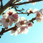 Kirschblüte im Sonnenlicht