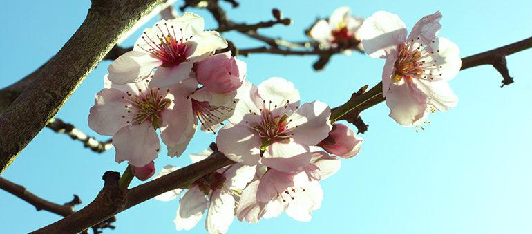 Kirschblüten im Sonnenlicht