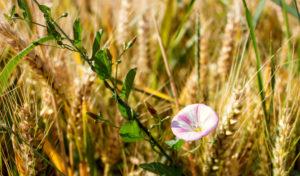 Kleine rosa Blüte im Kornfeld