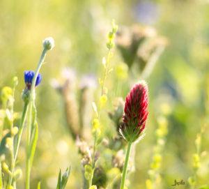 Kleine rote Blüte am Feldrand