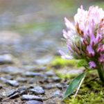 Kleeblüte im Moos