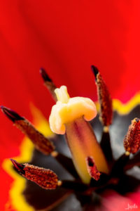 Nahaufnahme einer Tulpe