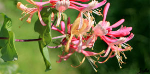 Rosa Blüte im Garten