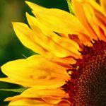 Sonnenblume im Tageslicht