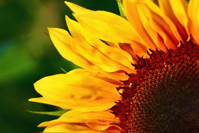 Vorschaubild einer Sonnenblume