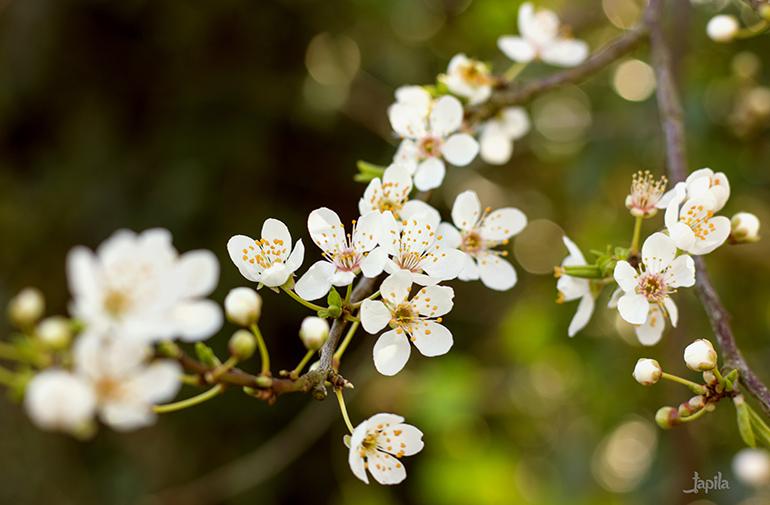 Weiße Blüten am Ast