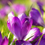 Lila Krokus - Der Frühling ist da